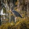 Great Blue Heron on Lake Martin
